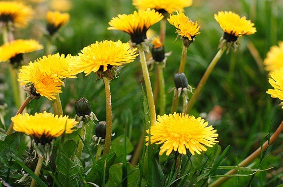 Dandelions in field of lawn