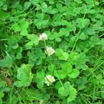 Clovers – an insight to your lawns health
