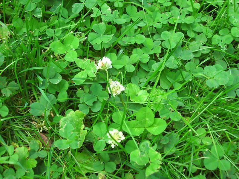 Dutch Clover taking over lawn