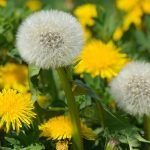 Dandelions in your lawn?