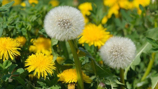 Father Christmas dandelion in lawn
